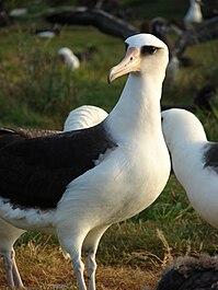 Phoebastria immutabilis (Laysan Albatross) at Midway Atoll