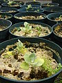 Starr 080608-7389 Solanum nelsonii.jpg