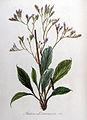 Statice limonium — Flora Batava — Volume v8.jpg