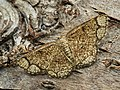 Stegania cararia - Ringed border - Пяденица осиновая жёлтая (40227482274).jpg
