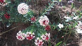 <i>Stellera</i> Genus of flowering plants