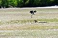 Stork hunt.jpg