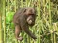 Stump tailed Macaque P1130751 18.jpg