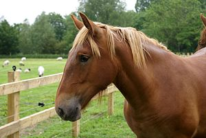 Suffolk Punch - Suffolk Punch head