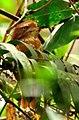 Sumatran frogmouth.jpg