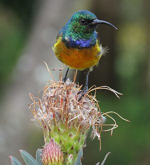 Orange-breasted sunbird - Orange-breasted sunbird