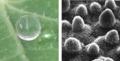 Superhydrofóbní povrch lotosového listu.png