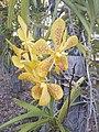 Suvarnabhumi Orchids Farm IMG 20160322 080303 (27447085505).jpg