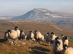 Swaledale sheep above Kingsdale (geograph 3338574).jpg