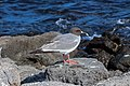 Swallow-tailed gull 01.jpg