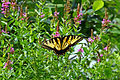 Swallowtail on Lythrum salicaria, Great Meadows, Concord, Massachusetts.jpg