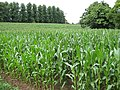Swathe of maize - geograph.org.uk - 914491.jpg