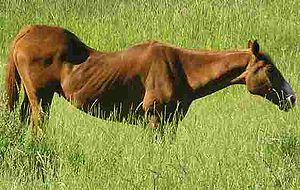 Back (horse) - This older horse has a significant swayback