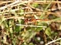 Sympetrum fonscolombii male 01 (5041186828).jpg