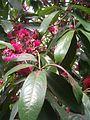 Syzygium malaccense BotGardBln07122011F.JPG