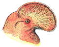 Tête de Coq de roche (Millot-1907).png