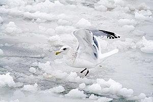 Thayer's gull - Image: THG Uc