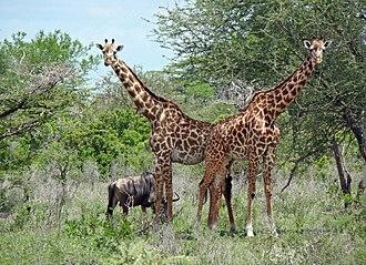 Selous Game Reserve - Image: TZ Selous Giraffes and Gnu