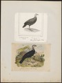 Talegallus cuvieri - 1700-1880 - Print - Iconographia Zoologica - Special Collections University of Amsterdam - UBA01 IZ16900139.tif