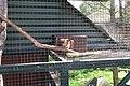 Tamiasciurus hudsonicus in Dierenpark Zie-ZOO.jpg