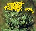 Tanacetum vulgare (4536062304).jpg