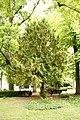 Taxus-baccata 12-18-B WLE2020 Denis-Apel 5.jpg