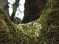 Tayloria rudolphiana 2.jpg