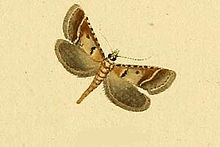 Tegostoma comparalis.JPG