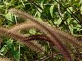 Tender Fountain Grass (3052976682).jpg