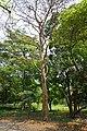 Terminalia arjuna - Indian Botanic Garden - Howrah 2013-03-31 5731.JPG