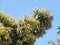 Terminalia paniculata - Kindal Tree flowers at Blathur 2017 (8).jpg