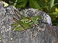 Tettigoniidae - Decticus verrucivorus.jpg