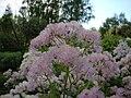 Thalictrum aquilegiifolium Lehtoängelmä Aklejruta C DSC03062.JPG