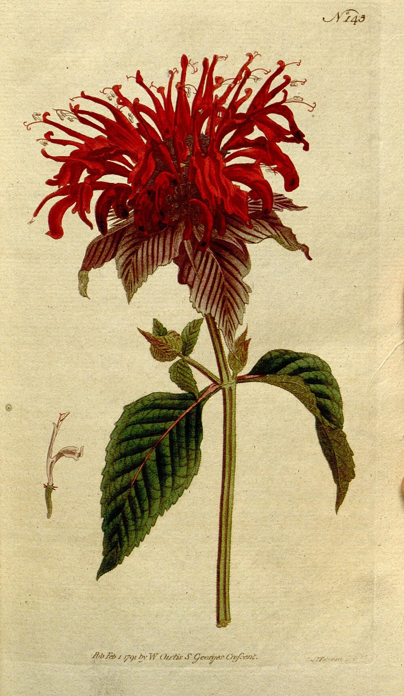 Mondarda Fistulosa Botanical Illustration