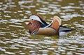 The Mandarin Duck of St. Ferdinand Park (45717509532).jpg
