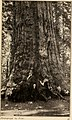 The big trees of California, their history and characteristics (1907) (19747557064).jpg