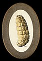 The larva of the ox warble fly (Hypoderma bovis). Coloured d Wellcome V0022587EL.jpg