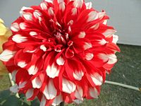 The red-white beauty.jpg