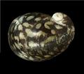 Theodoxus fluviatilis shell 4.png