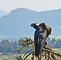 Thick-billed Raven Courtship, Simien Mountains, Ethiopia (2457853617).jpg