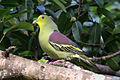 Thimindu 2009 12 31 Kaudulla Pompadour Green Pigeon 1.jpg