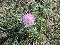 Thistle in the Badlands.JPG