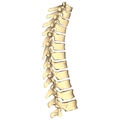 Thoracic vertebrae - lateral view.png