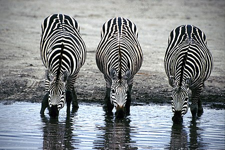 Three Zebras Drinking.jpg