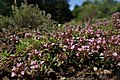 Thymus herba-barona kz02.jpg
