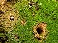 Tiger Beetle Larva (28570495914).jpg