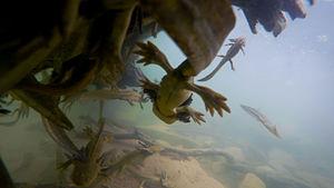 Tiger salamander - Tiger salamander larvae