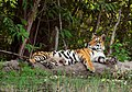 Tiger resting at a waterhole.jpg