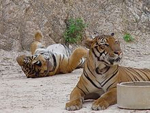 Tigers in the Tiger Temple, Thailand.jpg