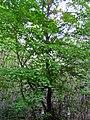 Tilleul à petites feuilles (Tillia cordata) - Forêt de Mervent-Vouvant.jpg